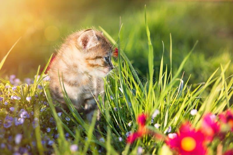 Little kitten playing on green grass background. Sunlight royalty free stock photo