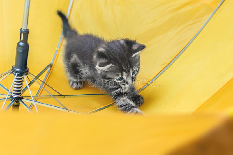 Little kitten is playing in the umbrella. Striped playful kitten royalty free stock photo