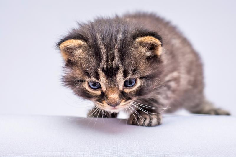 Little kitten quietly suited to prey. Striped kitten is playing_ stock images