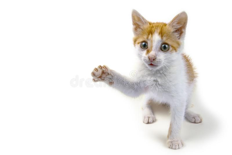 Little kitten with raised paw on white background stock photo