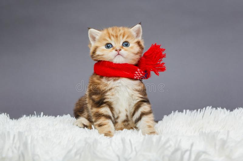 Little kitten in a red scarf. Little kitten of British marble breed in a red scarf on a fur royalty free stock images