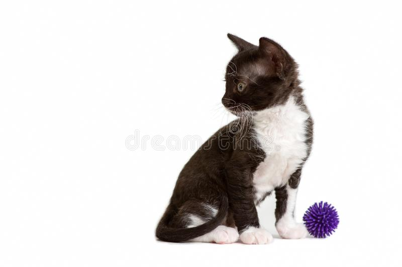 Little kitten Ural Rex sits and does not look at the ball isolated on white. Color: black bicolor royalty free stock images