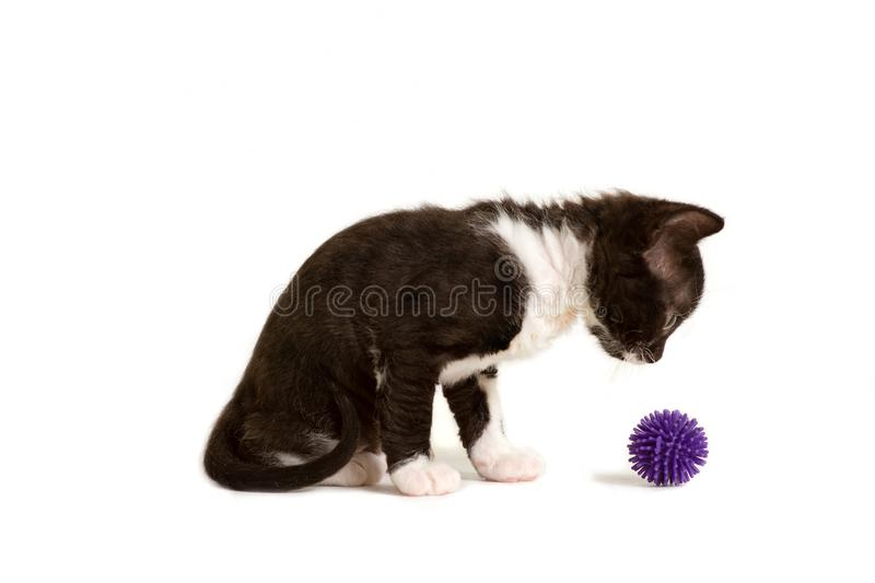 Little kitten Ural Rex sits and looks at the ball isolated on white. Color: black bicolor. Little kitten Ural Rex sits and does not look at the purple ball stock images