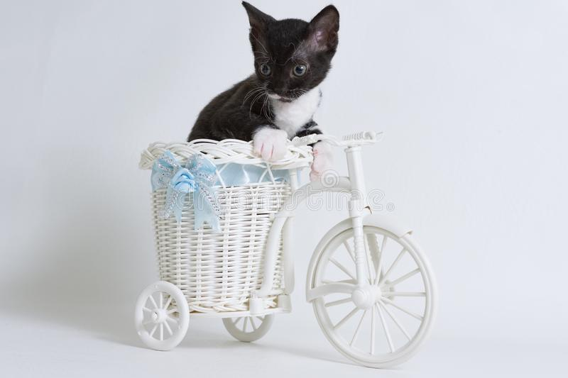 Little kitten Ural Rex sits in a toy bike and looks down, isolated on a white background. Color: black bicolor. The concept of a rare breed of cats and very stock images
