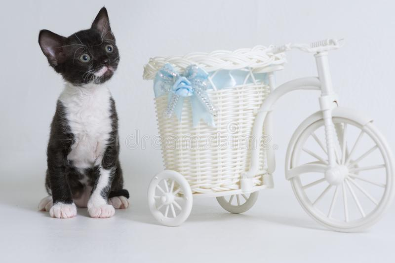 Little kitten Ural Rex sitting next to a toy bike looking up,  on a white background. Color: black bicolor. The concept of a rare breed of cats and very stock images