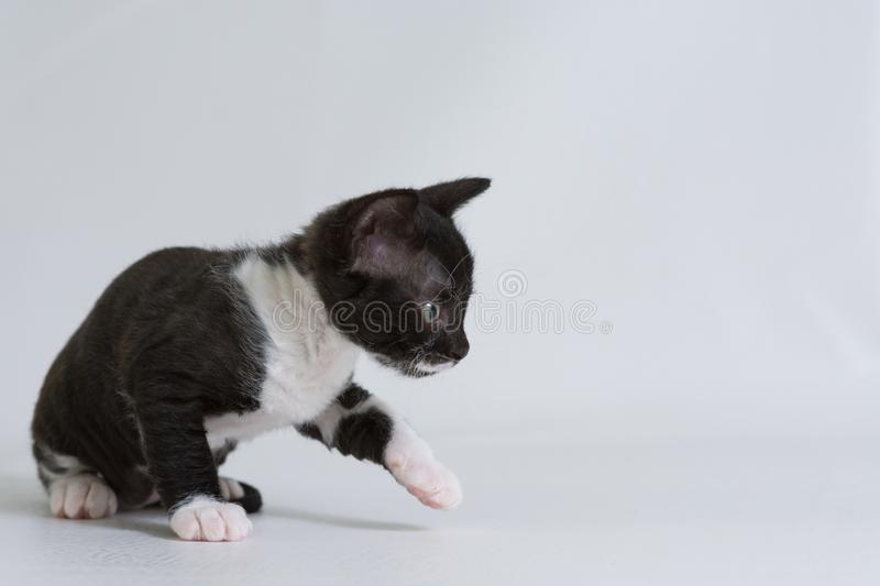 Little kitten Ural Rex sneaks behind the toy,  on a white background. Color: black bicolor. The concept of a rare breed of cats and very affectionate Pe royalty free stock photos