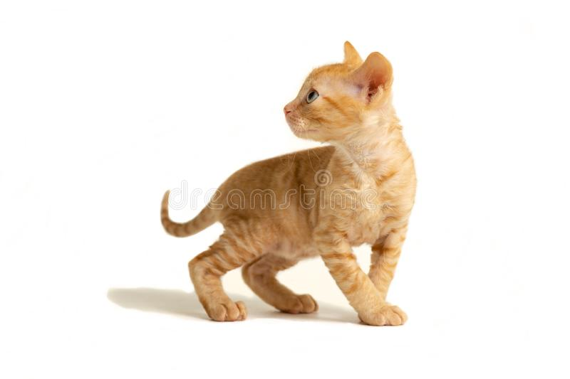 Little kitten Ural Rex stands and looks back, isolated on a white background. Red color royalty free stock image