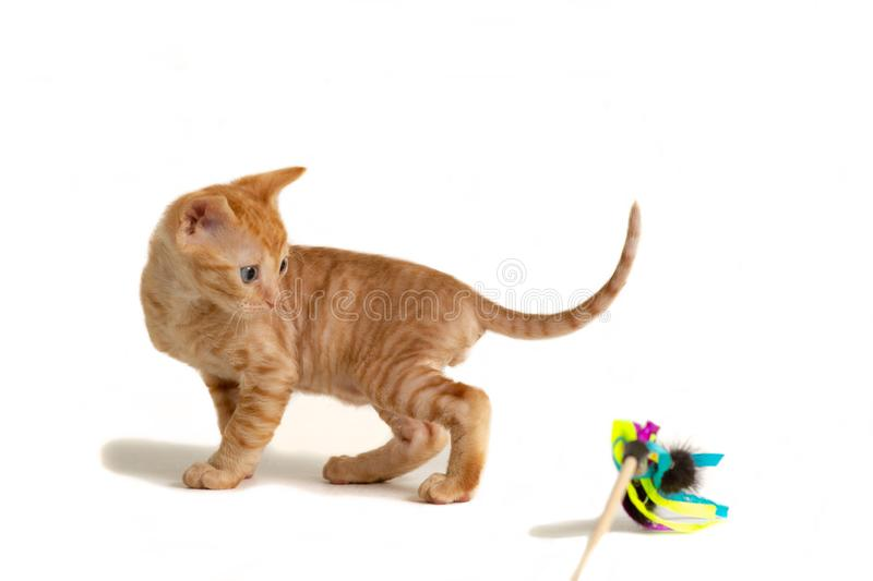 Little kitten Ural Rex stands and looks back at the toy isolated on a white background. Red color stock image