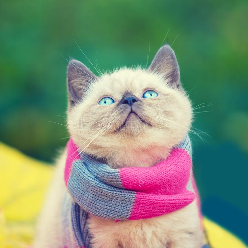 Little kitten wearing pink gray knitting scarf royalty free stock photography