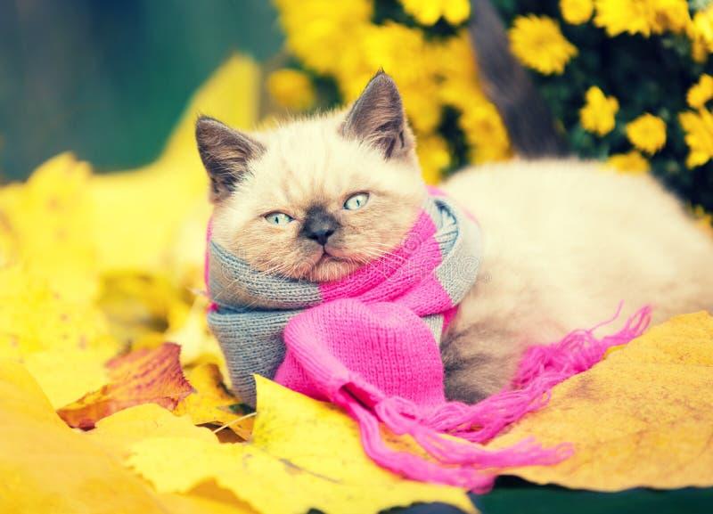 Little kitten wearing pink gray knitting scarf royalty free stock photo