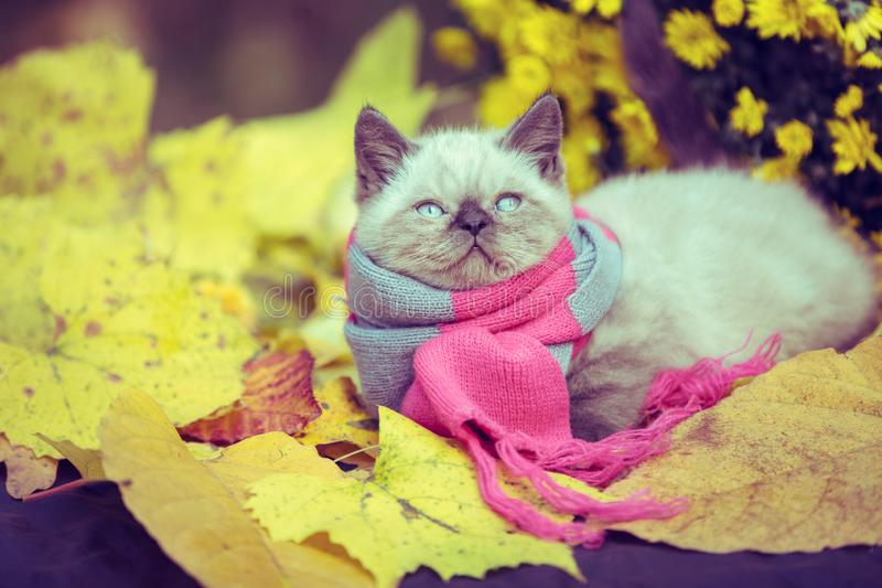 Little kitten wearing pink gray knitting scarf royalty free stock image