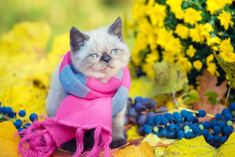 Little kitten wearing pink gray knitting scarf stock image