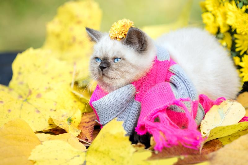 Little kitten wearing pink gray knitting scarf royalty free stock photos