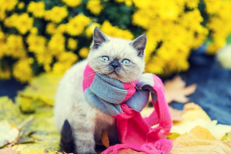 Little kitten wearing pink gray knitting scarf stock photo