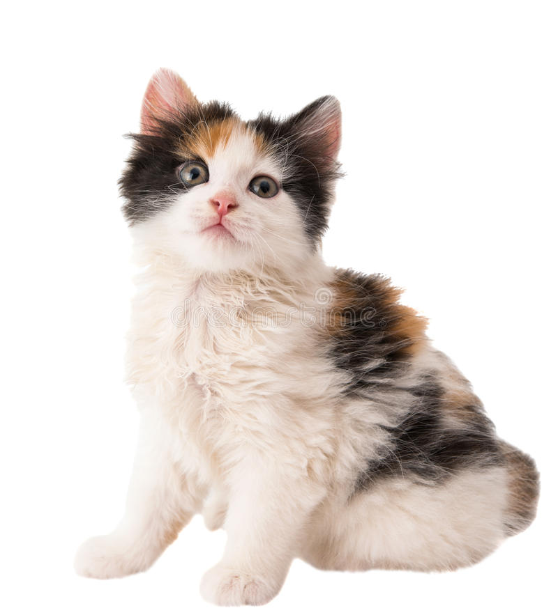 Download Little kitten stock photo. Image of fluffy, soft, sucker - 35211202