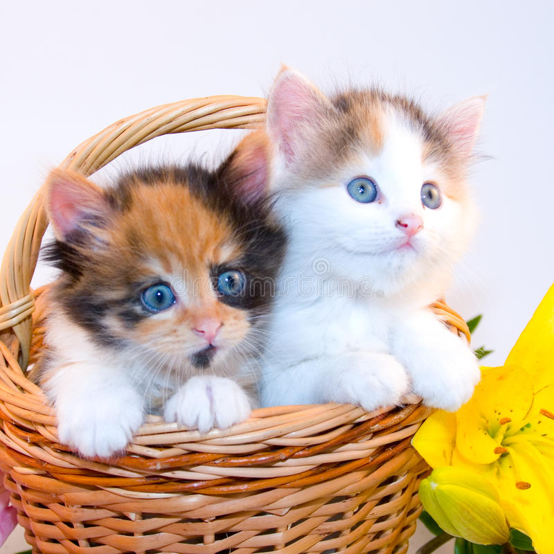 Free Little Kittens Royalty Free Stock Images - 10755649
