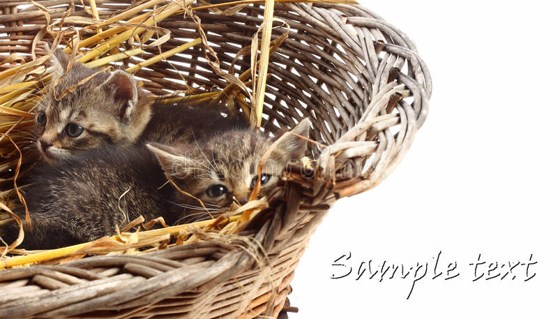 Download Little kittens stock photo. Image of kittens, sweet, little - 24547490