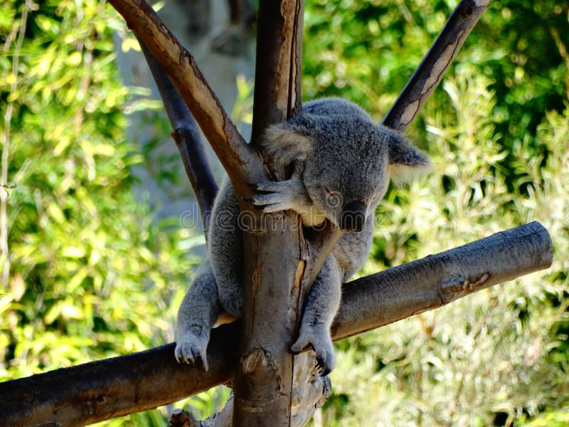 Sleeping cute koala on a tree. A little koala caught taking a nap during the day, its so hard to being cute all day stock photo