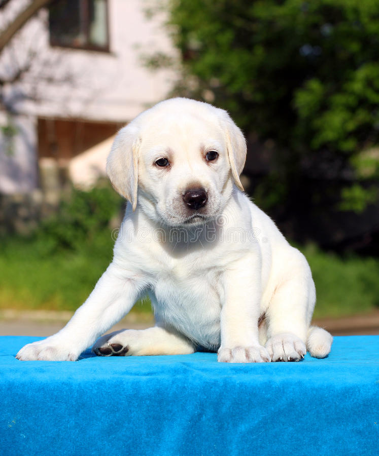 Little labrador puppy on a blue background. Little yellow labrador puppy sitting on blue background royalty free stock images