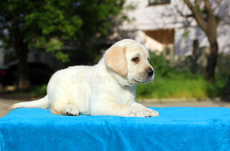 The little labrador puppy on a blue background. The little yellow labrador puppy sitting on blue background stock photography