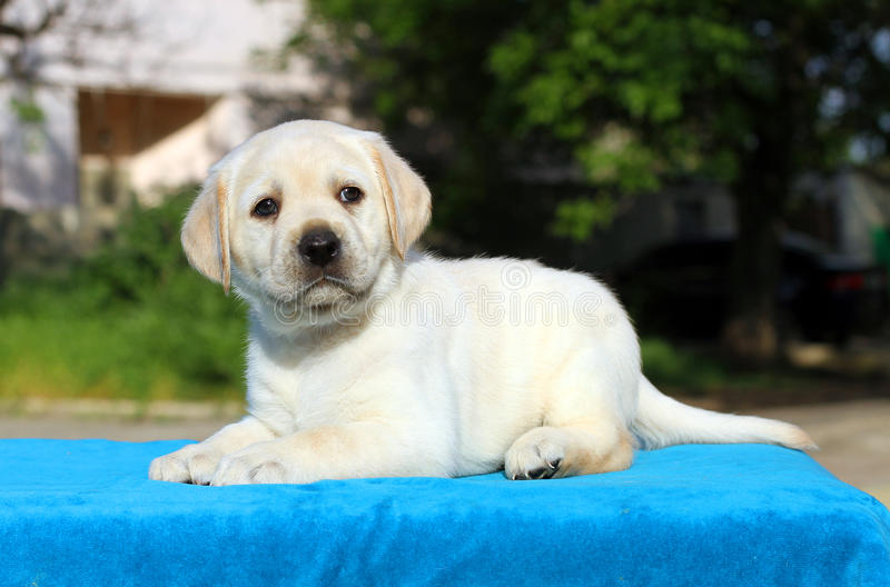 A little labrador puppy on a blue background. A little yellow labrador puppy sitting on blue background royalty free stock images