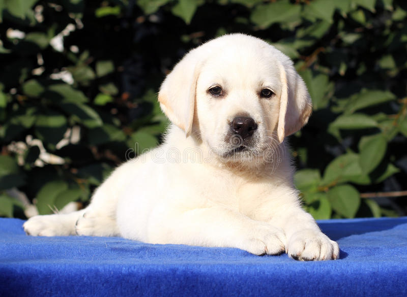 A little labrador puppy on a blue background. A little yellow labrador puppy sitting on blue background stock photography