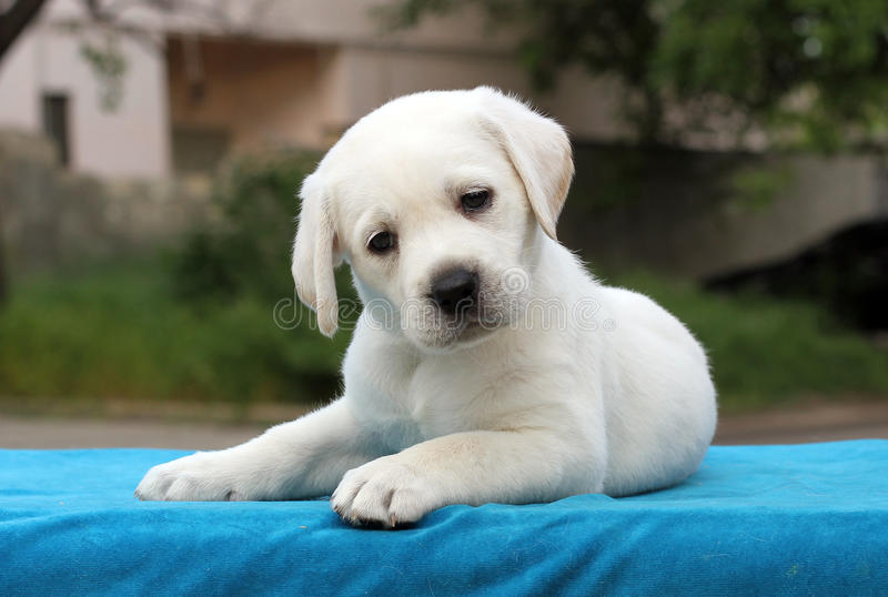 The little labrador puppy on a blue background. The little yellow labrador puppy sitting on blue background royalty free stock images