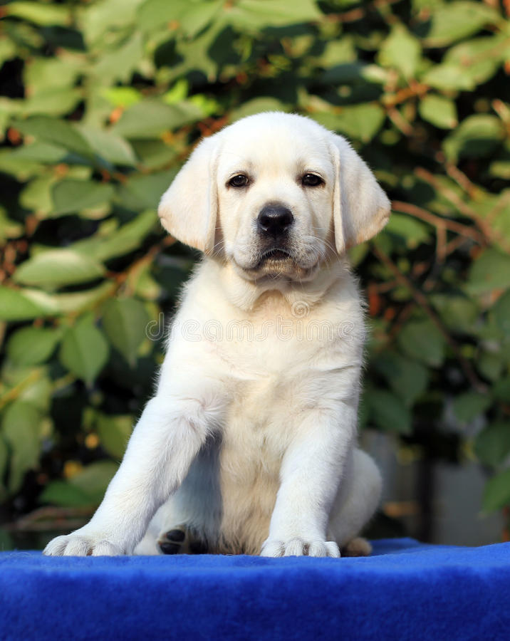 A little labrador puppy on a blue background. A little yellow labrador puppy sitting on blue background stock images