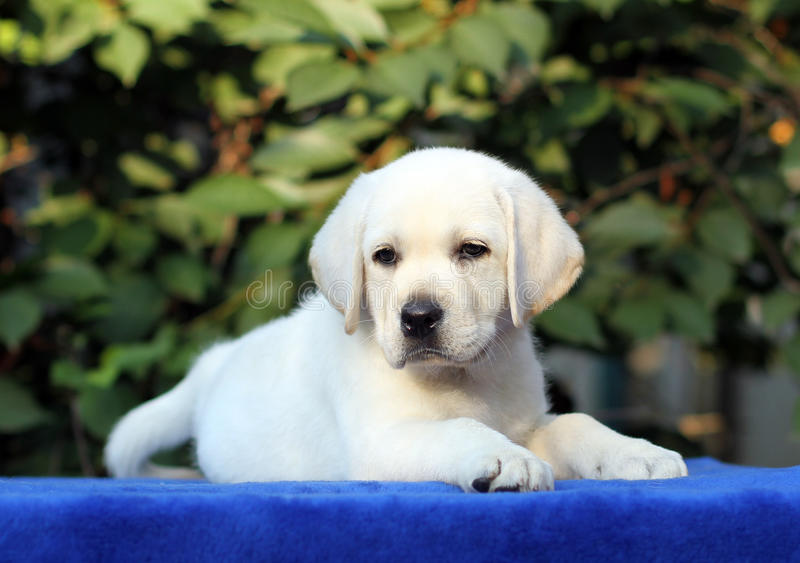 Little labrador puppy on a blue background. Little yellow labrador puppy sitting on blue background stock photography