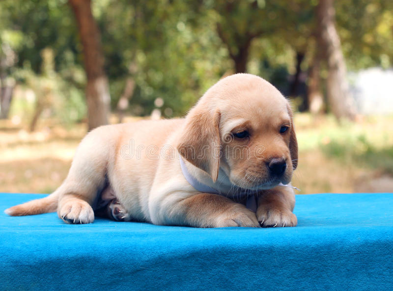 Little labrador puppy on the blue background. Little yellow labrador puppy sitting on the blue background stock image