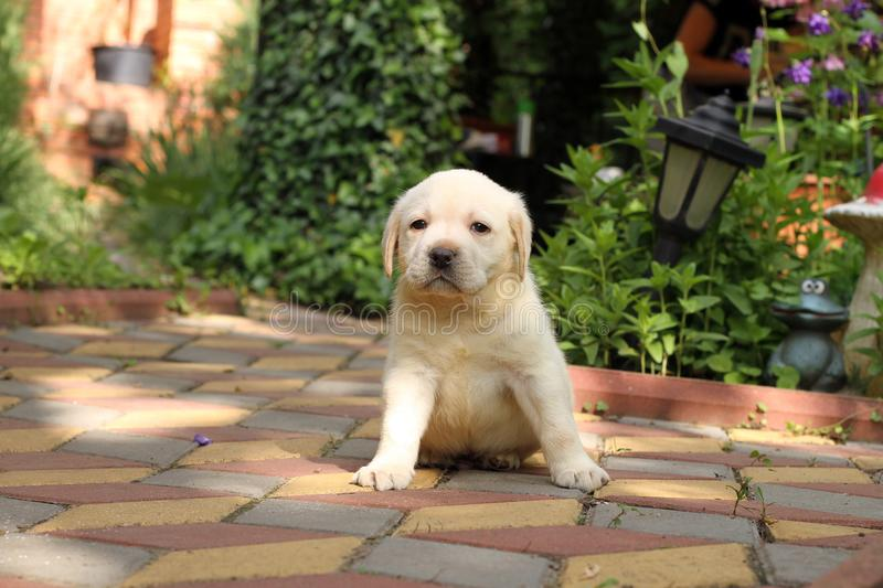 The little labrador puppy in the park royalty free stock photos