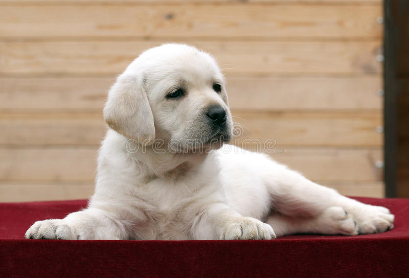 The little labrador puppy on a red background. The little yellow labrador puppy sitting on red background royalty free stock image