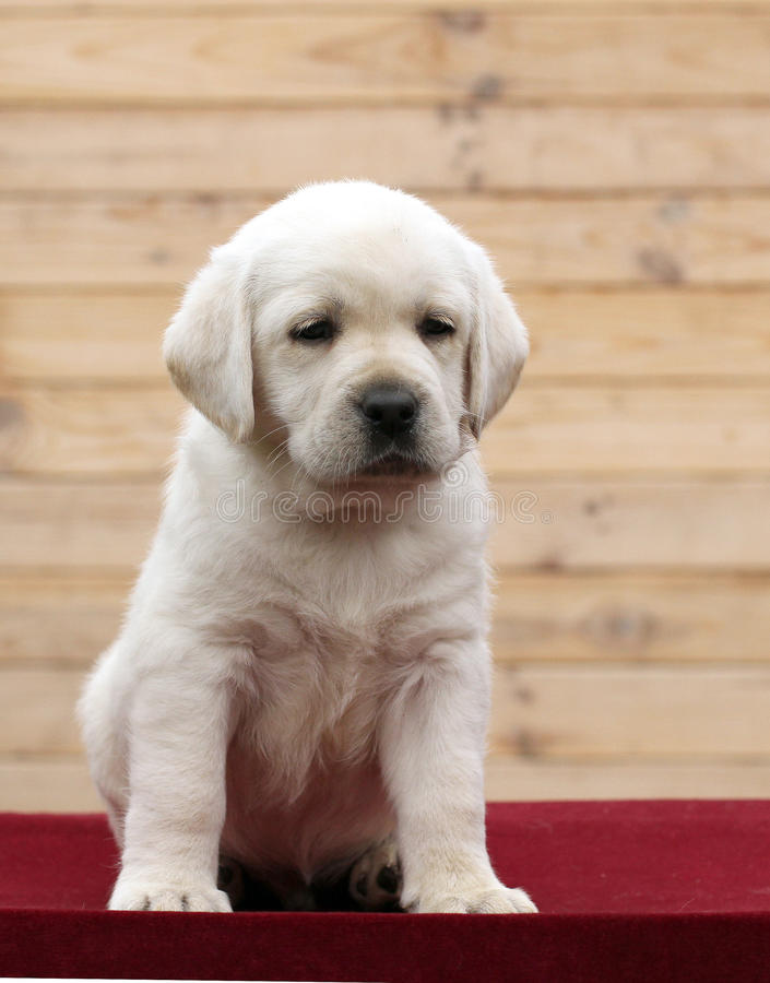 A little labrador puppy on a red background. A little yellow labrador puppy sitting on red background stock photos