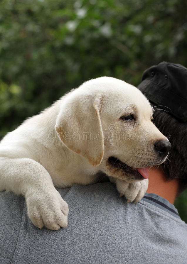 The little labrador puppy on a shoulder. The little yellow labrador puppy a shoulder of a man stock photography