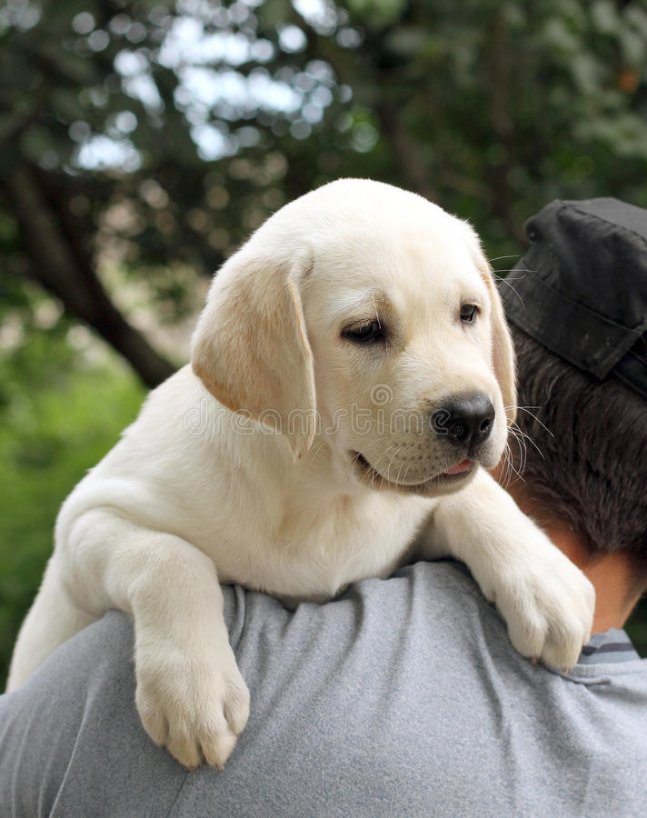 The little labrador puppy on a shoulder. The little yellow labrador puppy a shoulder of a man stock image