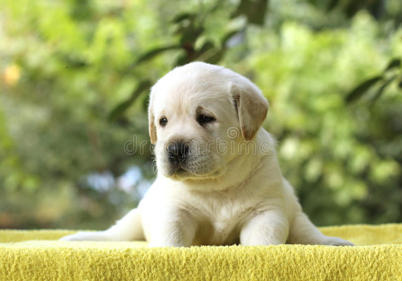 The little labrador puppy on a yellow background stock photo