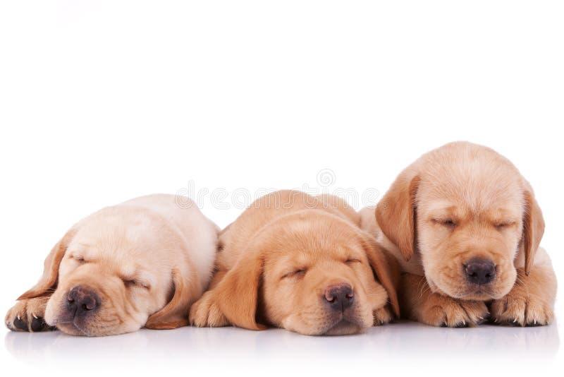 Little labrador retriever puppies sleeping. Three adorable little labrador retriever puppies sleeping on white background royalty free stock photos