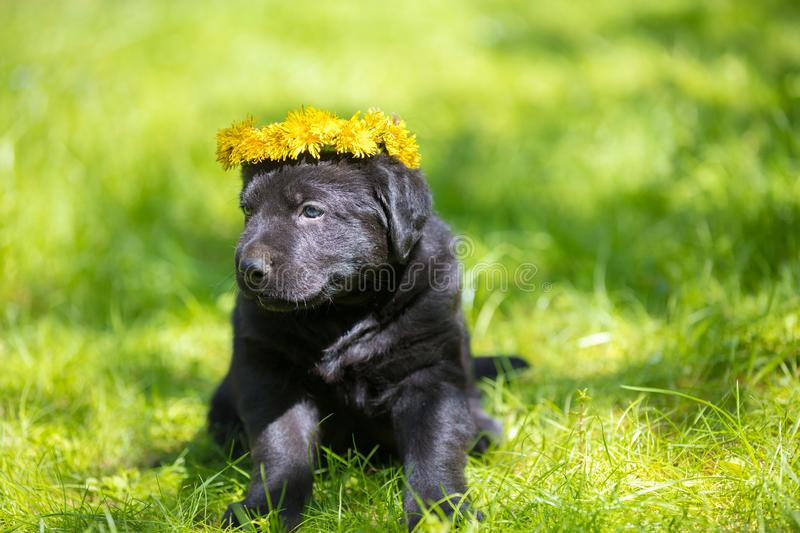 Little puppy wearing dandelion wreath stock photography
