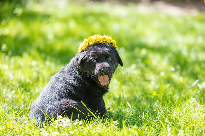 Little Labrador Retriever puppy wearing dandelion wreath royalty free stock image