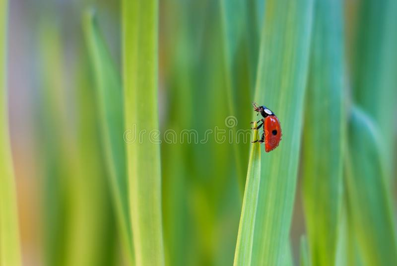 Little ladybug on a blade of grass in green grass stock photos