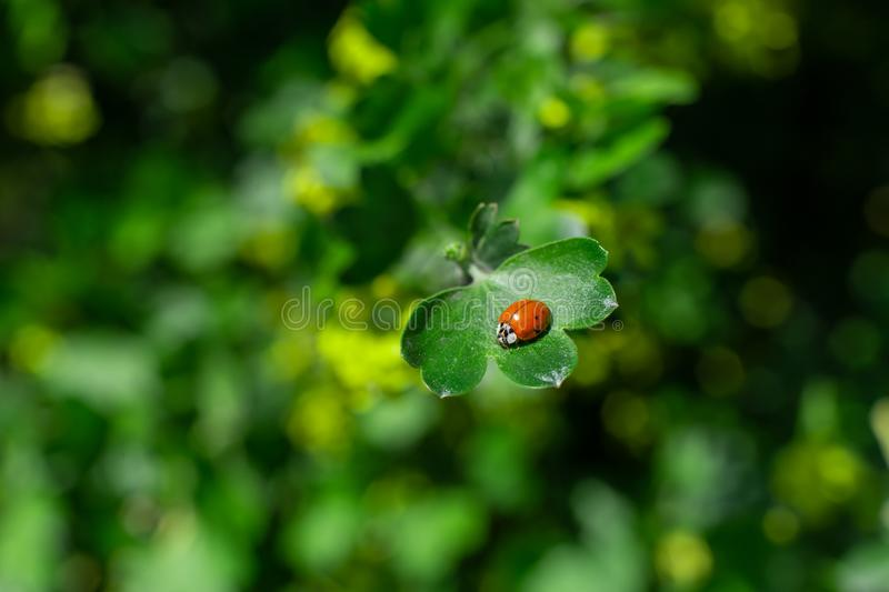 Little ladybug sitting on a green leaf in the garden stock images