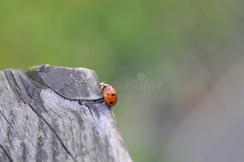 Little ladybug on a tree stock photos