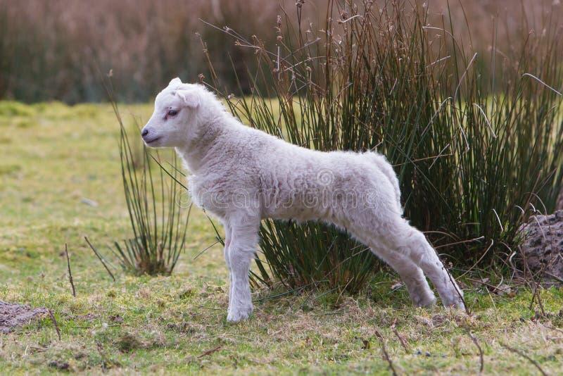 Little lamb royalty free stock photo