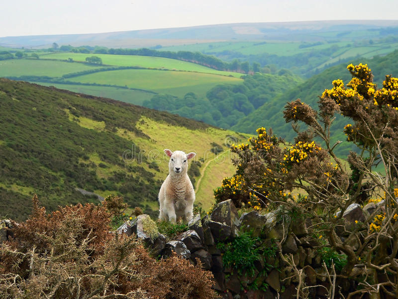 Little lamb hilly landscape, england. Little lamb in hilly landscape, south england stock photo