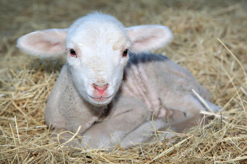 Little lamb. Newborn lamb laying on hew in the morning sun to get warm after a cold winters night royalty free stock photography