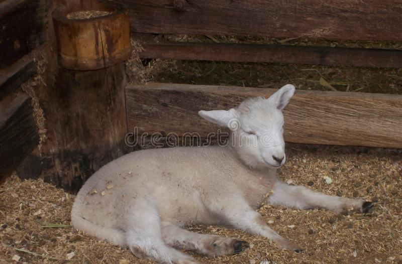 Little lamb resting in his corral stock images