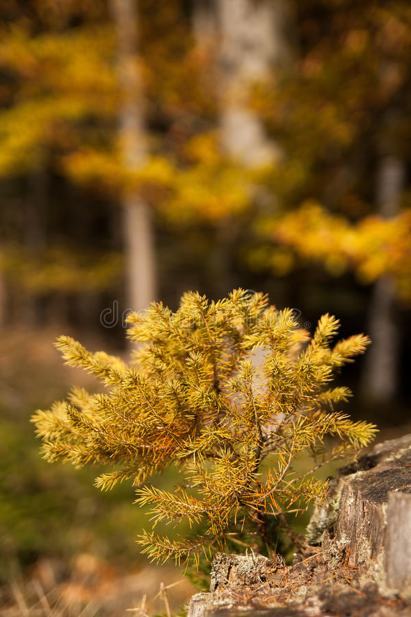 Little larch tree in the forest. Leaning from another tree stock photo