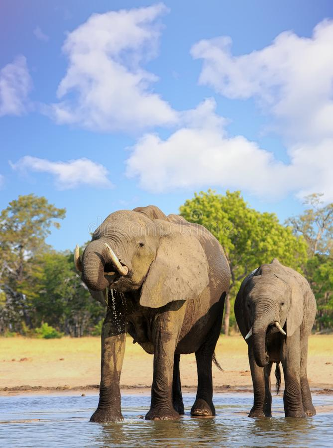 Portrait view of a little and large elephant drinking from a waterhole with nice blue cloudy sky stock photo