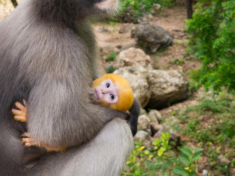 Little leaf monkey drinking milk from mother breast stock photos