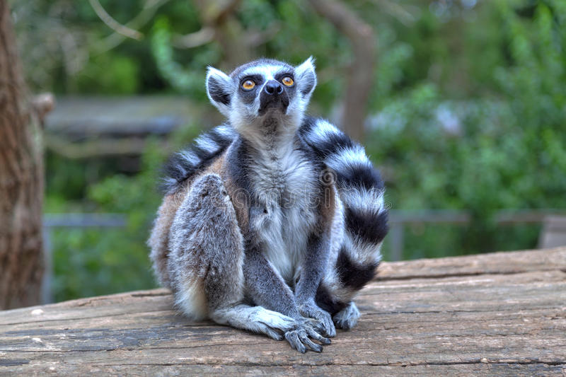 A little lemur with a long striped tail. Is sitting on a wood and looking to the sky stock images